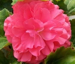 Бегония клубневая Nonstop Pink в горшке - фото 6293