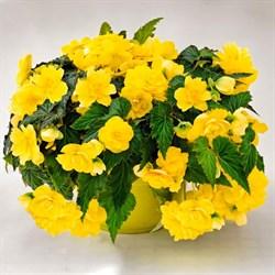 Бегония клубневая Nonstop Joy Yellow в горшке - фото 6296
