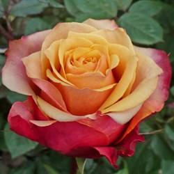 Роза чайно-гибридная Черри Бренди - фото 6321