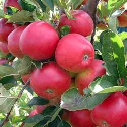 Яблоня Вишневое - фото 6361