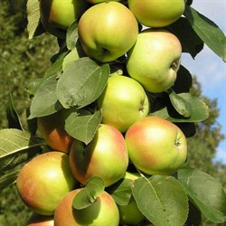 Яблоня колоновидная Малюха - фото 6367