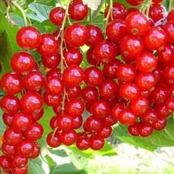 Смородина красная Щедрая - фото 6378