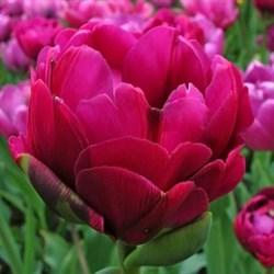 Тюльпан Абигейл пионовидный-махровый - фото 6409