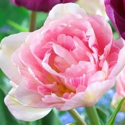 Тюльпан Анжелика пионовидный-махровый - фото 6416
