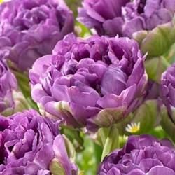 Тюльпан Блю Вау пионовидный-махровый - фото 6432