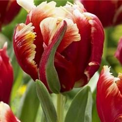 Тюльпан Диджей Паррот попугайный - фото 6445