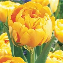 Тюльпан Йеллоу Помпонет пионовидный-махровый - фото 6483