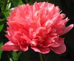 Пион Лорелей махровый травянистый - фото 6536