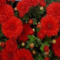 Хризантема мультифлора Прекосита Руж Велюр черенок - фото 6568
