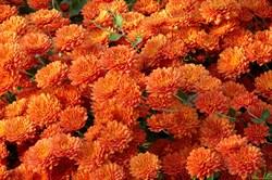 Хризантема мультифлора Зора Оранж черенок - фото 6580