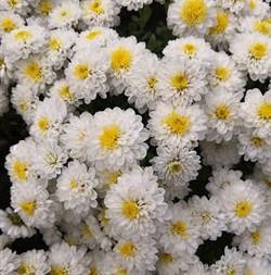 Хризантема мультифлора Зора Жасмин черенок - фото 6582