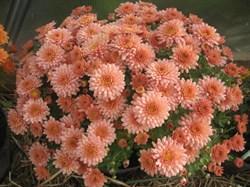 Хризантема мультифлора Зора Самон черенок - фото 6584