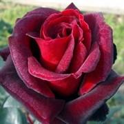 Роза чайно-гибридная Баркароле