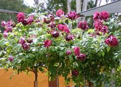 Роза на штамбе Бургунди Айс 100см