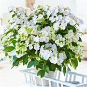 Гортензия ампельная Сбежавшая Невеста (Белоснежка)