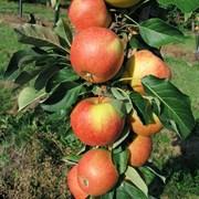 Яблоня колоновидная Триумф