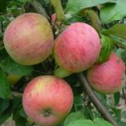 Яблоня Осеннее Полосатое (Штрейфлинг)