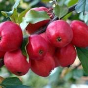 Яблоня Китайка Долго семенной подвой