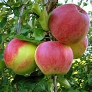 Яблоня Уэлси семенной подвой