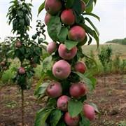 Яблоня колоновидная Гейзер семенной подвой
