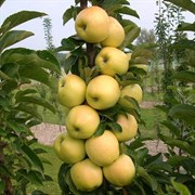 Яблоня колоновидная Медок семенной подвой
