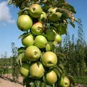 Яблоня колоновидная Янтарное ожерелье семенной подвой