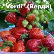 Клубника Верди