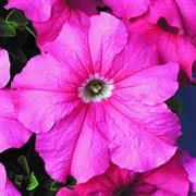 Петуния ампельная Ray Baroque Pink в горшке
