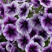 Петуния ампельная Ray Purple Vein в горшке