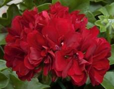 Пеларгония плющелистная (Герань) Atlantic Dark Red в горшке