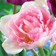 Тюльпан Анжелика пионовидный-махровый