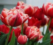Тюльпан Кабелла пионовидный-махровый