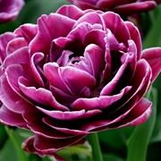 Тюльпан Дрим Тач пионовидный-махровый
