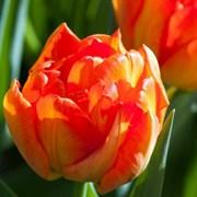 Тюльпан Монте Оранж пионовидный-махровый