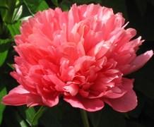 Пион Лорелей махровый травянистый