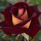 Роза чайно-гибридная Эдди Митчелл - фото 5227