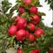 Яблоня колоновидная Созвездие семенной подвой - фото 5693